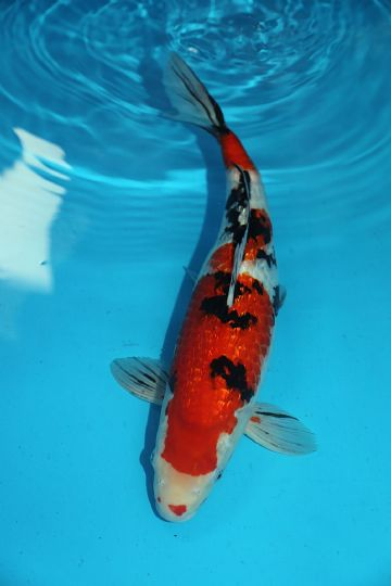 "Sanke-Koi For Sale 16"" 0111"